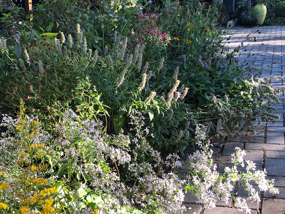native asters in part shade border