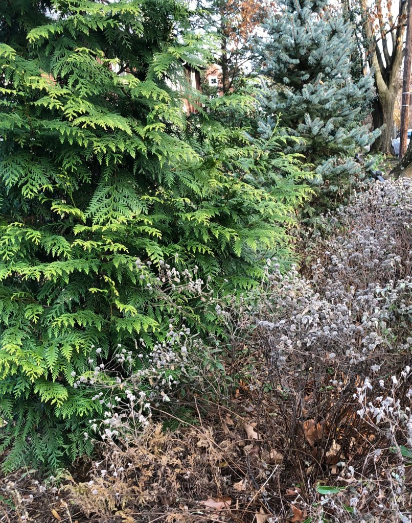 Mountain mint that has dried in late fall is planted in front of an eastern arborvitae and a Colorado blue spruce