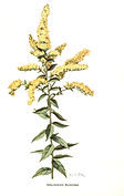 Goldenenrod-simplified-small.jpg
