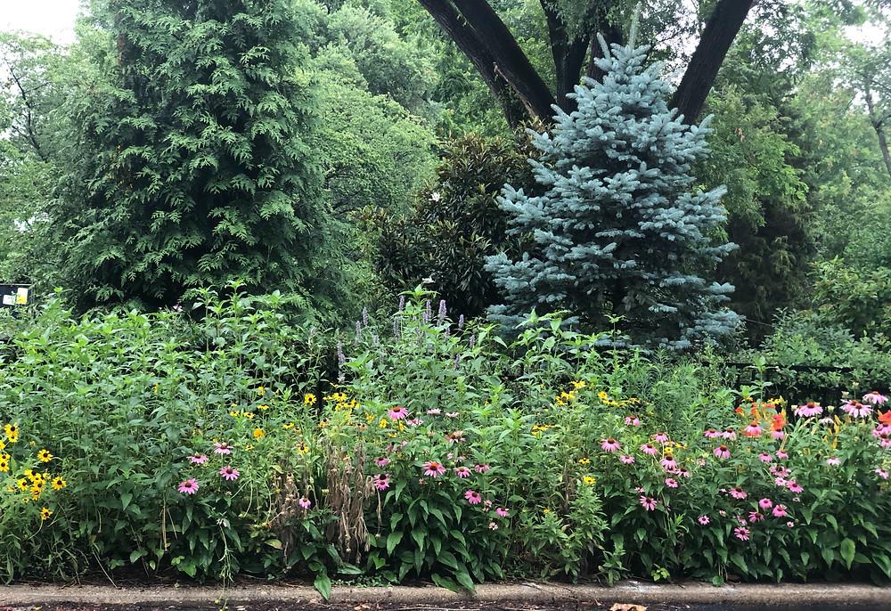 Native flowers in tree lawn