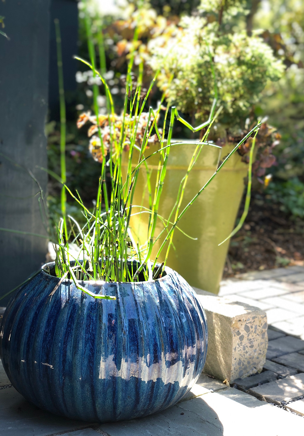 native horsetail in container