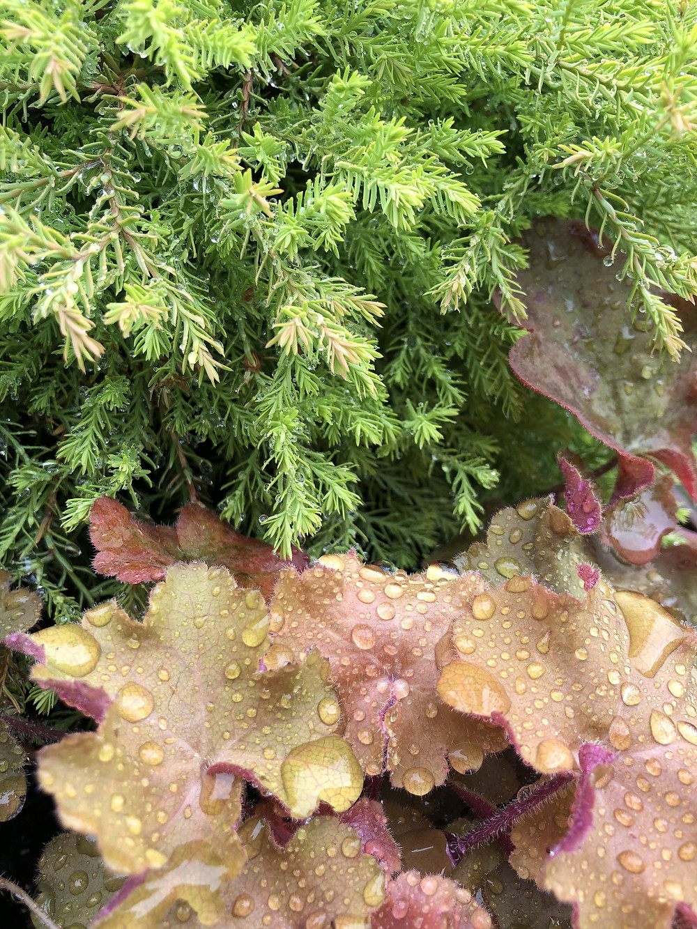 Common juniper and coral bells 'caramel'