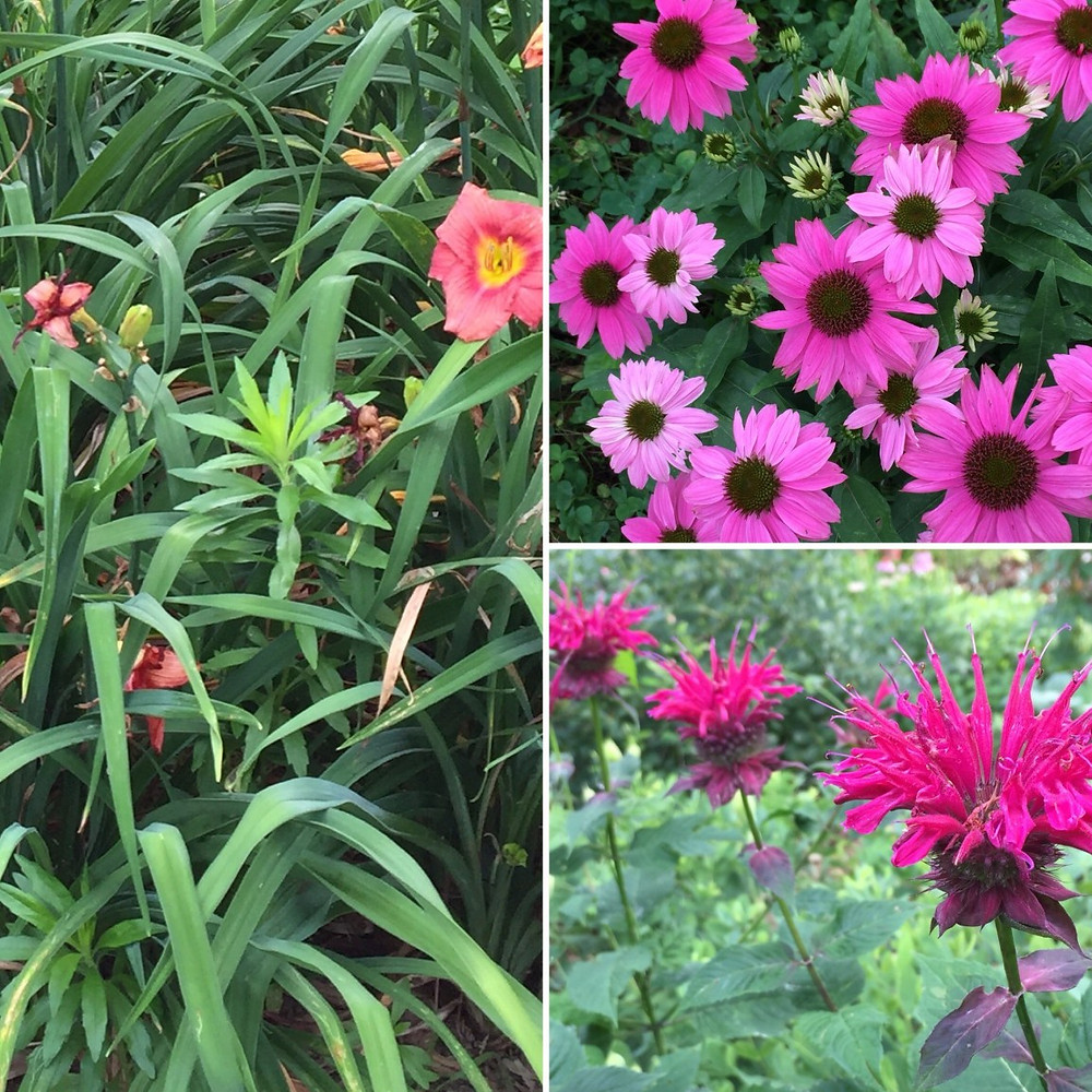 pink daylily coflor bbalm