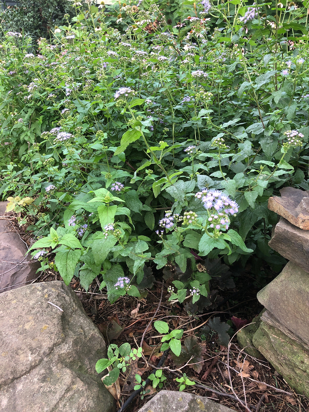 native perennial blue Mistflower