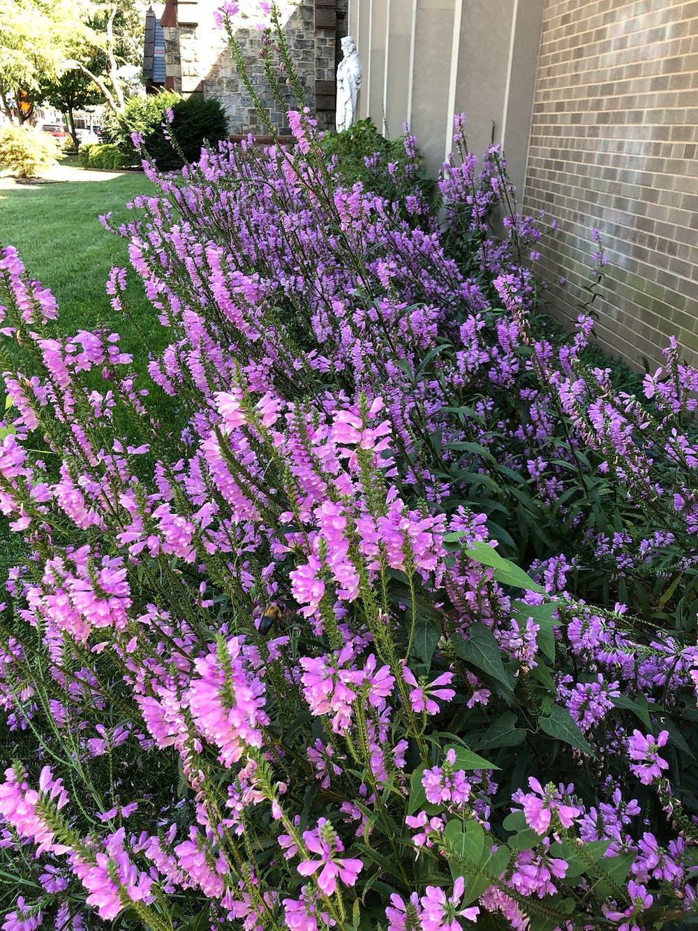 Native Obedient Plant