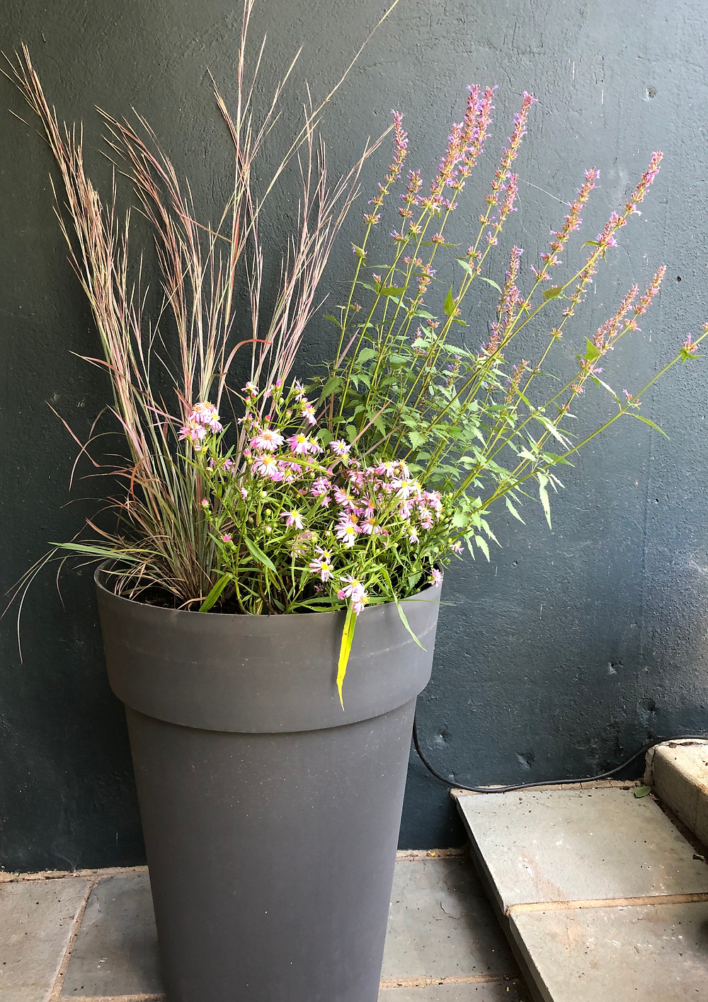 native bluestem, hybrid aster and hyssop in container