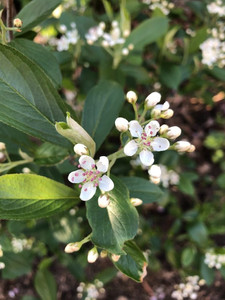 Red chokeberry flower