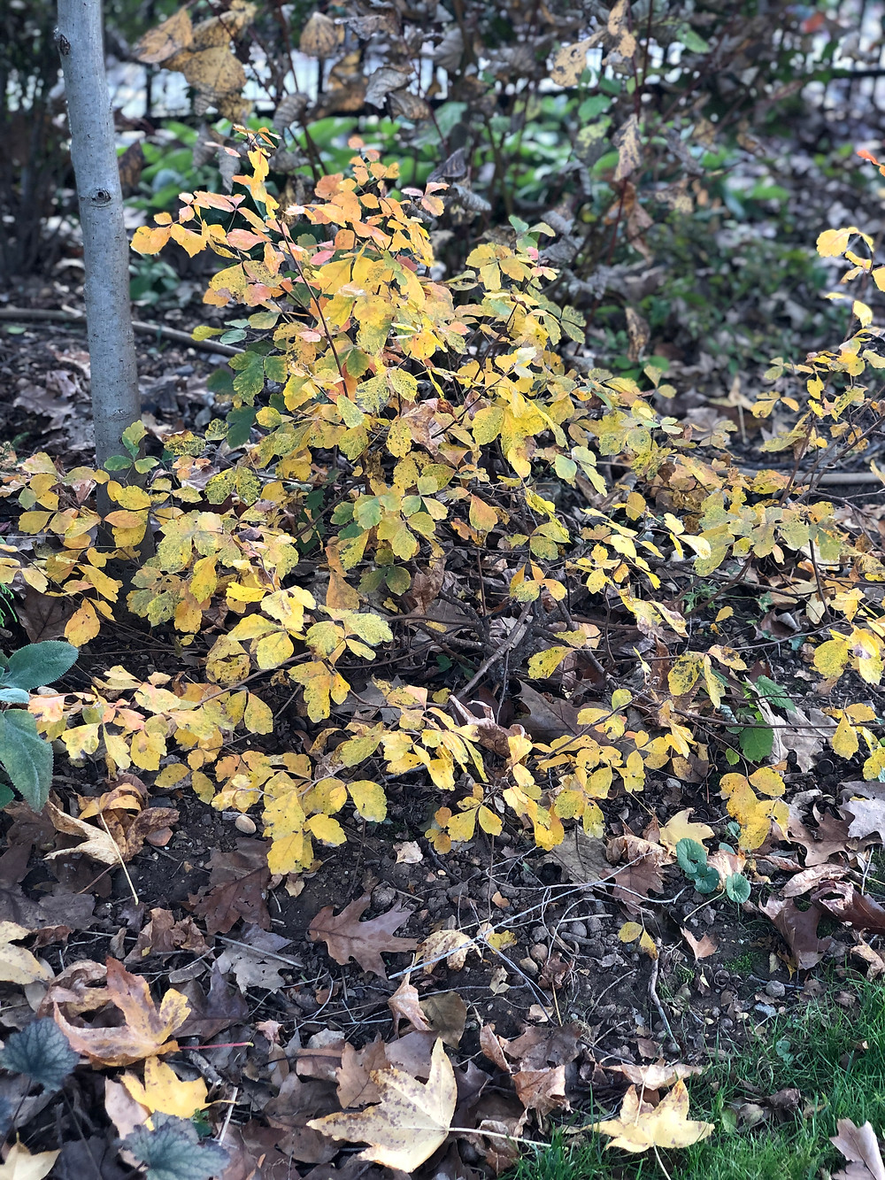 native low growing shrub sumac with fall color