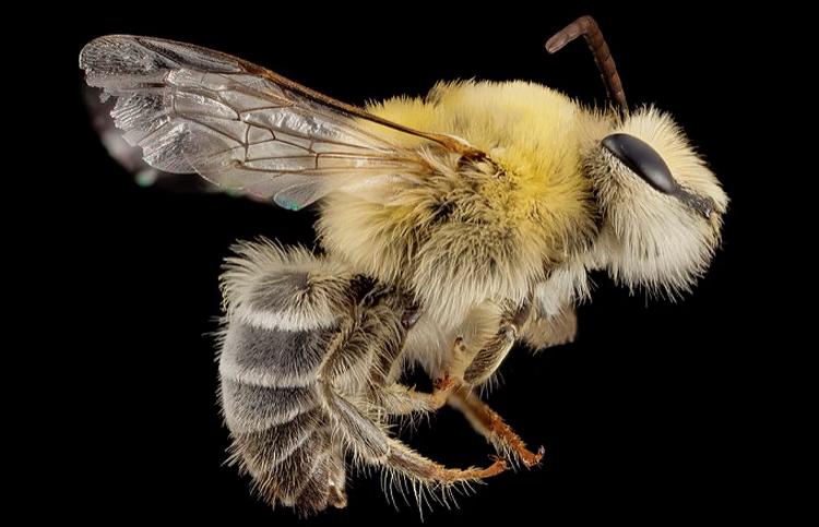 Maryland native bee close-up