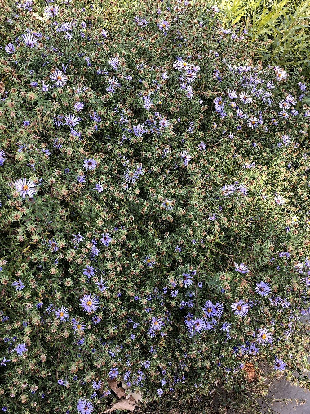 Native Plants: Blue Aster for Maryland and Virginia and Chesapeake Bay Area