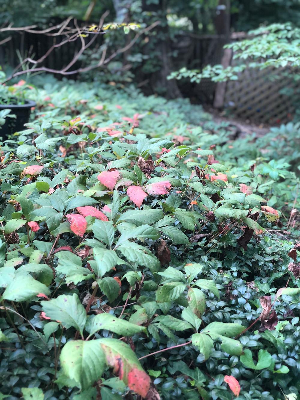 virginia creeper growing over vinca
