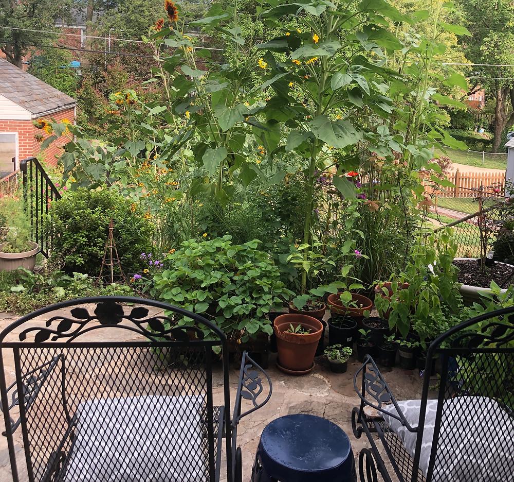 Baltimore native plant garden behind a rowhome