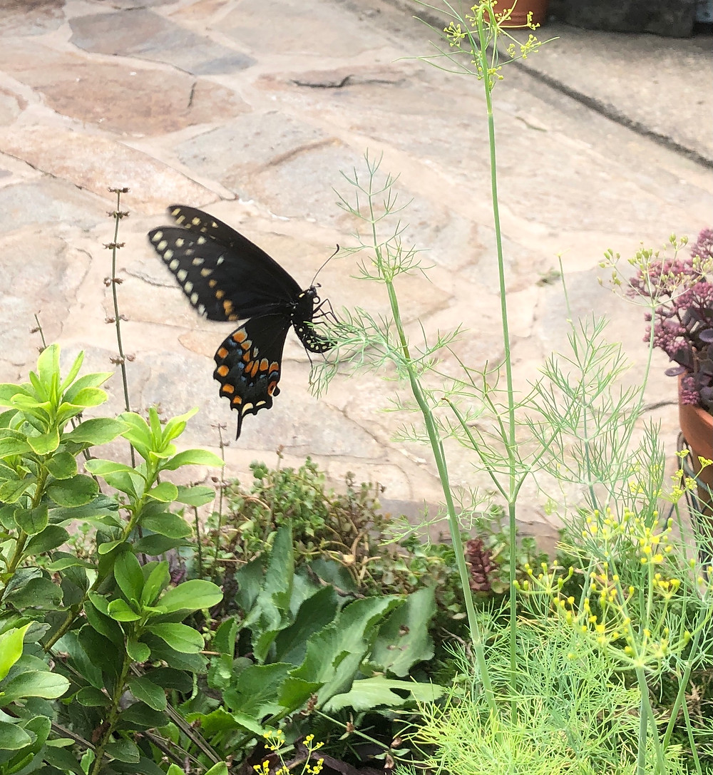 swallowtail butterfly on dill