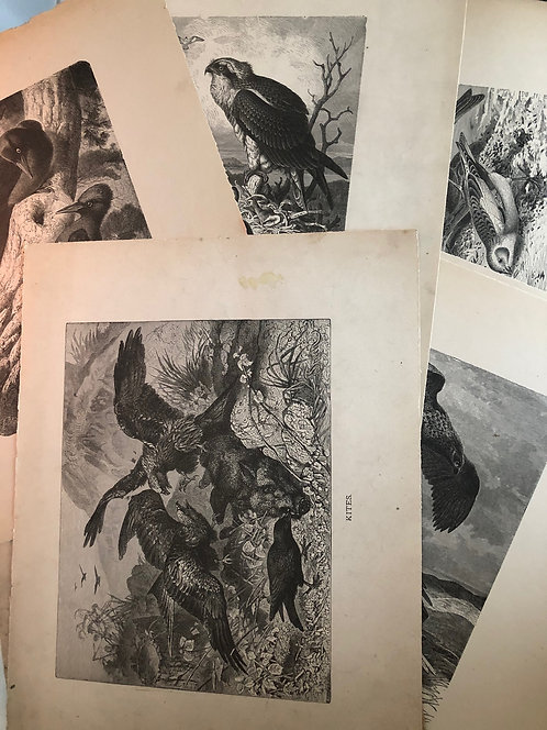 7 VINTAGE Prints CHARMING BIRDS from 1885 Animate Creation book