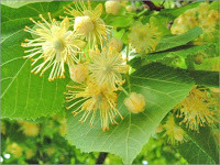 Lime Flower Linden Tea Recipe
