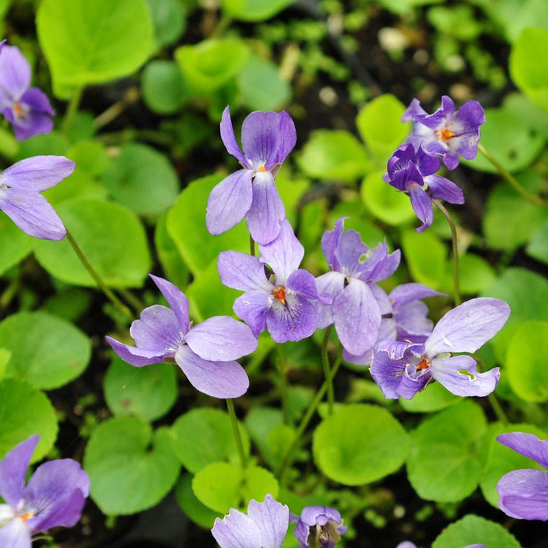 Sweet violet Cream and Crystallised Flower recipe