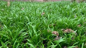 Few Flowered Garlic Identification and Recipes
