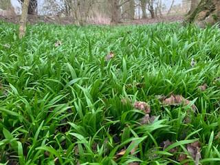 Few or Lesser Flowered Garlic before flowering