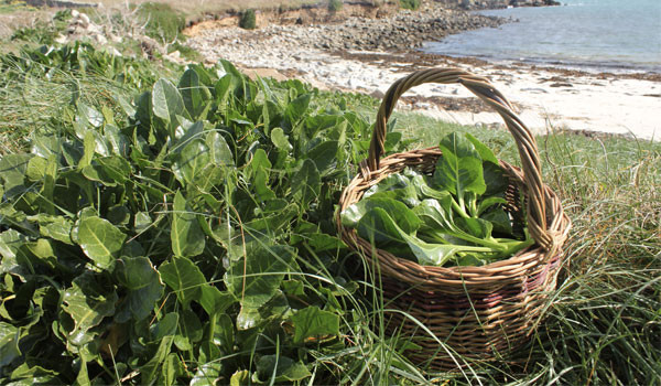 foraged sea beet wild spinach identification guide