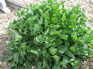 sea beet wild spinach identification guide