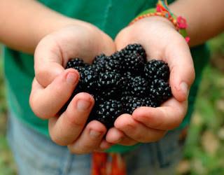 A nice haul of Blackberries