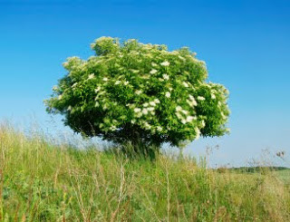Elder Tree Identification guide
