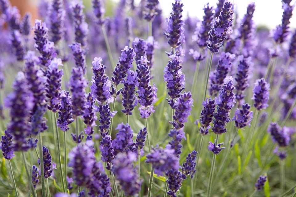 Lavender Scone Recipes