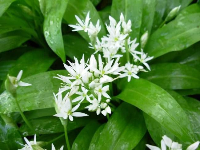 Wild Garlic Flowers Identification Guide