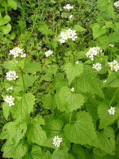 Garlic Mustard Jack by the hedge year 2