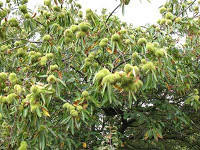 Sweet Chestnut Wild Food Sicily Italy