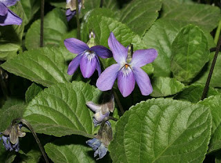 The Sweet Violet