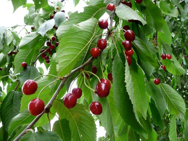Wild Cherry Jam Conserve recipe