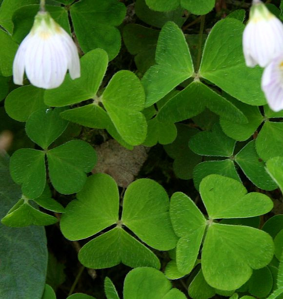 Wild Wood Sorrel in Flower