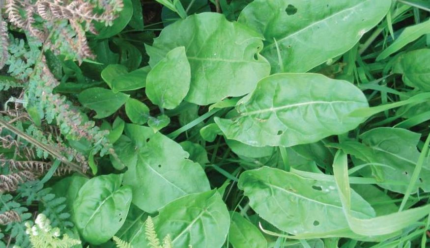 Wild Sorrel Identification, Uses and Recipes