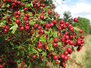 Hawthorn Berry Chutney