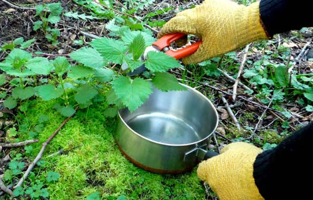 Foraging and picking stinging nettles
