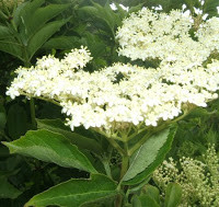 Elder flowers Identification guide