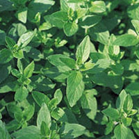 Wild Oregano Sicily Wild food guide