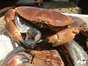 Cromer Crab Cakes Wild Fennel Samphire Recipe
