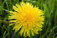 Dandelion flower and its uses