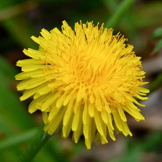 Dandelion Flower Schnapps recipe