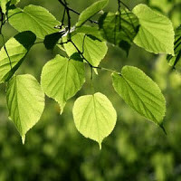 Lime Tree Leaves Wild Spring Salad