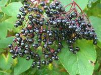 Elderberries Identification guide