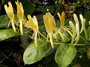 Edible Wild Garden Flowers UK Honeysuckle