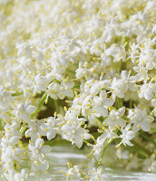 What is in season Wild Food Elderflowers