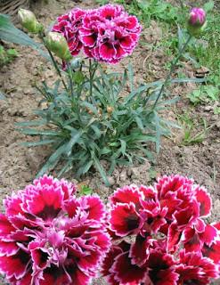 Edible Wild Garden Flowers Carnations