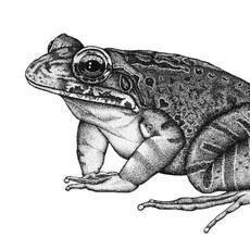Mountain chicken frog