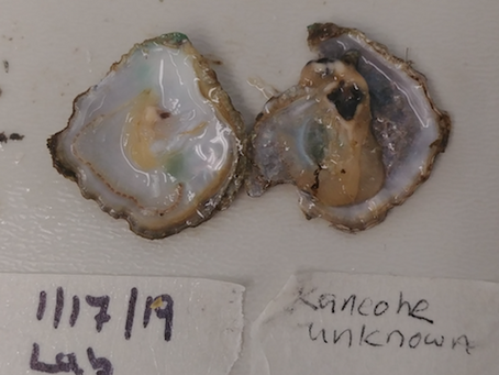 New pre-print available on oyster research