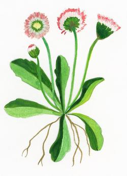 Illustration Gänseblümchen Bilderbuc