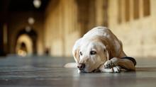 Canine Leishmaniasis